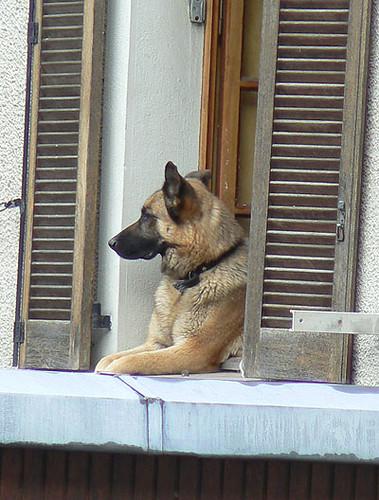 un chien à sa fenêtre.jpg