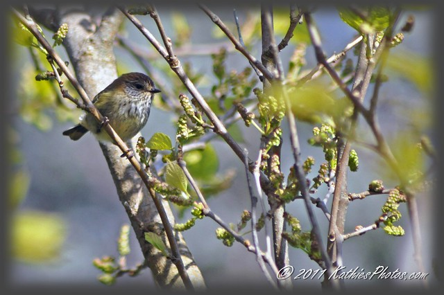 223-365 Brown thornbill