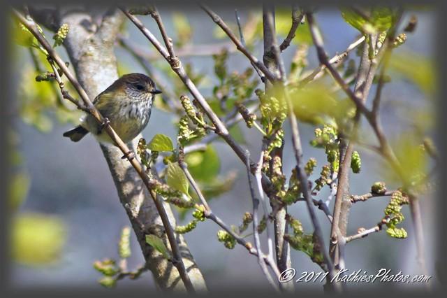 223-365 Brown thornbill