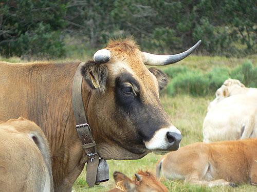vache à la cloche.jpg