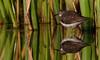 Solitary Sandpiper: I think I'm seeing double (mbaglole) Tags: pine jack sand nikon ottawa trails 300mm tele greenbelt piper nikkor sandpiper solitary f4 teleconverter afs solitarysandpiper d90 tc14e nikon300mm nikon300mmf4 nikond90 nikonteleconverter ottawagreenbelt nikon14x jackpinetrails TGAM:photodesk=wildlife