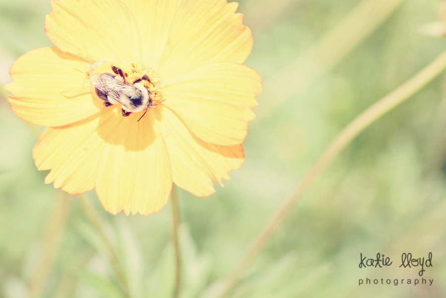 Bee-on-Yellow-Flower