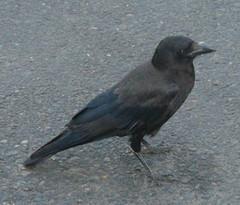 Flashy crow