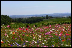 Field of Wild Flowers (Kalexander2010) Tags: flowers panorama france fleurs landscape photography colorful bright nopeople wildflowers colourful tarn fleurssauvages lotsofcolors kalexander kalexanderphotography routedegaillac klalexanderphotography