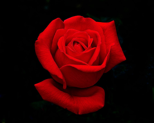 The perfect Red Rose.