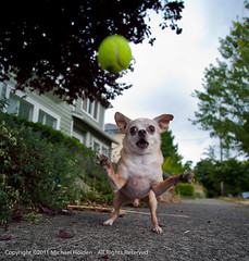 Chihuahuas are vicious (Michael Holden) Tags: seattle summer chihuahua cute balloons small wide fast playa pixel capitolhill newgear