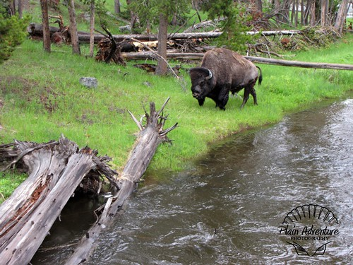 Buffalo near Filehole River
