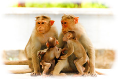 We are family - 3 (Natesh Ramasamy) Tags: family wild portrait pet india cute slr love animal canon children photography zoo monkey photo kid asia child affection father young mother picture pic ancestor tami canoneos tamilnadu nadu southasia tiruvannamalai thiruvannamalai natesh ramasamy canoneosslr lifeisart 550d t2i canon550d canont2i canonkissx4 best4gpin bestphoto4gpinsep2011 ramnaganat