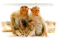 We are family - 1 (Natesh Ramasamy) Tags: family wild portrait pet india cute slr love animal canon children photography zoo monkey photo kid asia child affection father young mother picture pic ancestor tami canoneos tamilnadu nadu southasia tiruvannamalai thiruvannamalai natesh ramasamy canoneosslr lifeisart 550d t2i canon550d canont2i canonkissx4 best4gpin flickrstruereflection1 flickrstruereflection2 flickrstruereflection3 bestphoto4gpinsep2011 ramnaganat