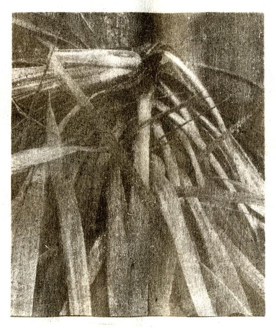Study of yucca (gum bichromate)