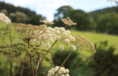 Yet another umbelliferous flower