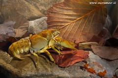 Austropotamobius pallipes (ACREMAR) Tags: crayfish freshwater crostaceo écrevisse austropotamobiuspallipes gamberodifiume dohlenkrebs