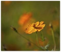 Orange Zinnia Bokeh (Lane Rushing) Tags: flower bokeh zinnia shallowdof sidelit bigmomma