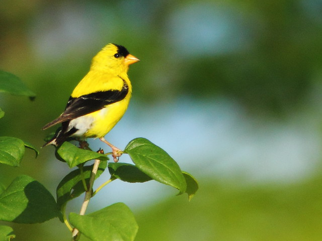 American Goldfinch 20110821