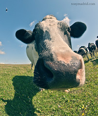 """Hum... creo que esto no se come..."" (Tonymadrid Photography) Tags: cow fisheye 105 vaca nikonfisheye"