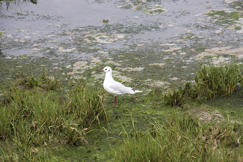 Colindres Gull