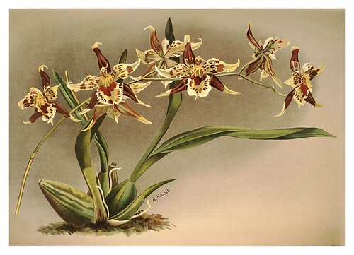 007-Odontoglossum Hallii Xanthoglosum-Reichenbachia-Orchids illustrated and described..Vol I-1888-F.Sander