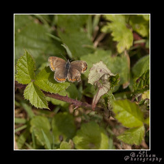 Brown Argus (mini-b) Tags: lake nature fruit canon kent scenery berries dragonflies butterflies farmland fields acorns oldcottage oasthouse tudeley somerhill eos5dmkii walksaroundtonbridge