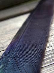 Feather (kauppvi) Tags: feather olympus uz sp550