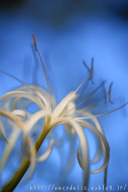 ハマユウ [Crinum asiaticum]...