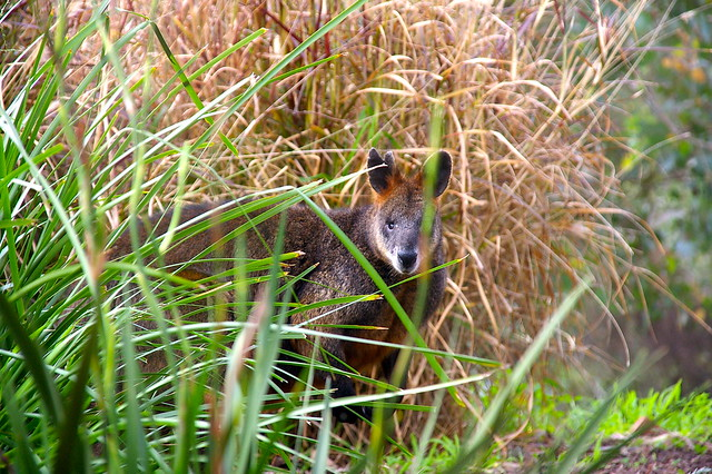 camouflage wallaby outside my bedroom window