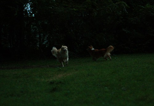 dogs frolicking at dusk