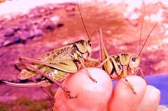 PEDICURE !!!.......... je m'amuse :-o))) (SUZY.M 83) Tags: france nature nikon sony suzy panasonic montage insecte tourisme criquet