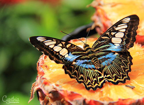 Butterfly on Pineapple