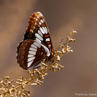 Lorquin's Admiral Butterfly will Attack Large Birds