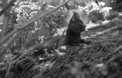 (Rodolfo_Felici) Tags: bw film animal cat rangefinder felino gatto canonet