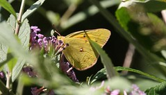 IMG_7464 (rpealit) Tags: orange home nature butterfly private scenery wildlife sulphur