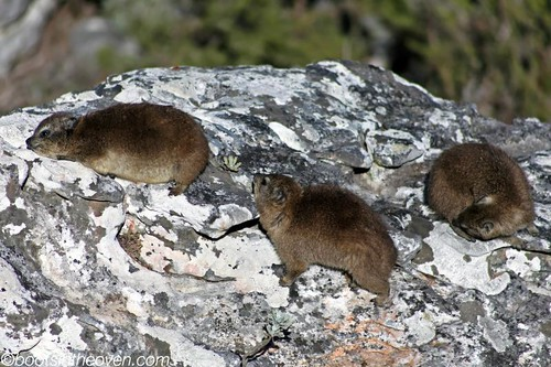 Rock Hyraxes, or Dassies... closest relative?  ELEPHANTS!