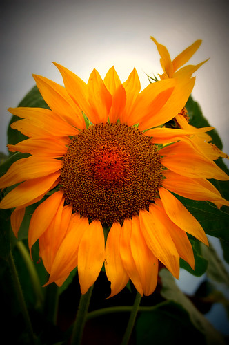 Sunflower by ffprncez