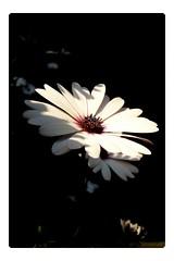 1 daisy (YAZMDG (15,000 images)) Tags: white flower fleur flora daisy africandaisy yaz yazminamicheledegaye yazmdg ystudio