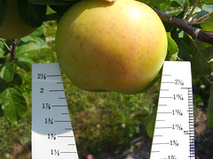 P.18 Apple Measure