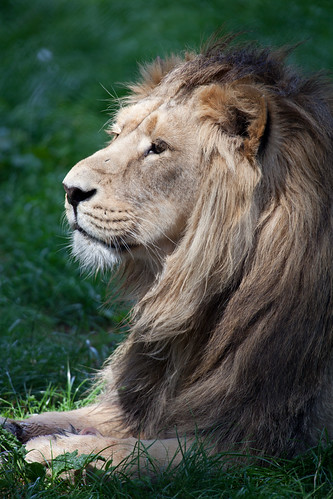 702/1000 - Asiatic Lion by Mark Carline