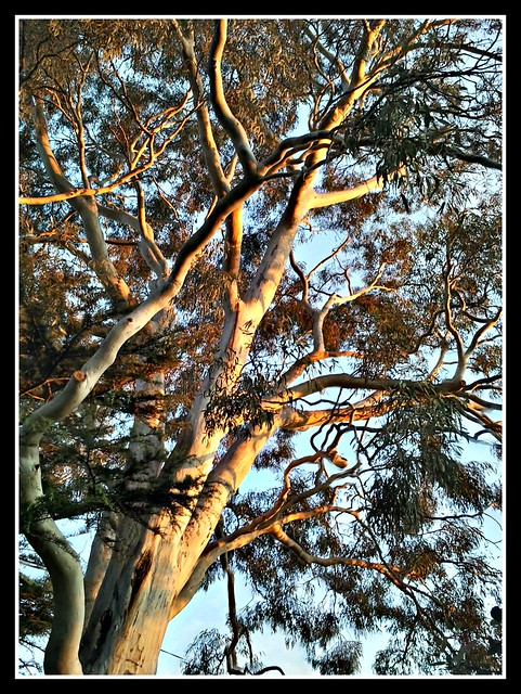 Rob and Rae's big Eucalypt at sunset