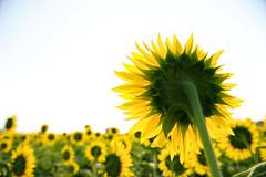 20110818 Ogaki-Himawari 6 (BONGURI) Tags: nikon sunflower  gifu  ogaki    d3s afszoomnikkor2470mmf28ged gettyimagesjapanq3