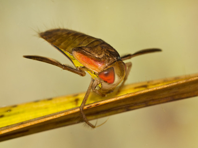 lesser water boatman 2 edited