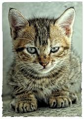 Gata - 89 (Pep Companyó - Barraló) Tags: cat chat gato catus gatto gat felis josep katu feles gatu silvestris huuschatze companyo barralo