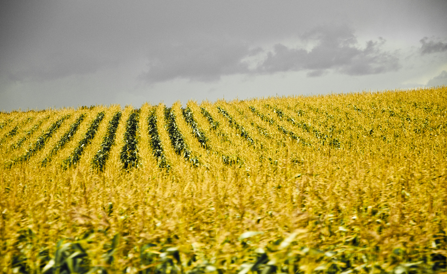 Yellow fields in Skåne