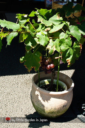 grape-in-a-pot