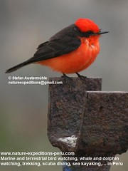 Vermillion flycatcher Birding Peru (6) (Nature Expeditions 06) Tags: trip vacation urban bird peru nature birds holidays tour lima birding stefan andes trips guide vermilion peruvian vermilionflycatcher flycatcher sanisidro pyrocephalusrubinus expeditions tyrannidae pyrocephalus rubinus elolivar birdguide lomasdelachay pantanosdevilla natureexpeditions birdinginperu austermhle birdingperu birdinginlima flycatchersofperu