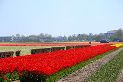 Tulip Fields at Keukenhof, Holland (Dragos Cosmin- Getty Images Artist) Tags: travel red camp orange holland netherlands yellow photo yahoo google high nikon europa europe tulips image photos quality nederland explore tulip buy land getty fields traveling publicity sell selling paysbas niederlande  keukenhof paises lalele hollandia paesi bajos bassi rosu holandia galben baixos portocaliu explored my alankomaat    nederlandene  nederlanderna