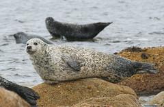Sannox seal (Hugh Spicer / UIsdean Spicer) Tags: uk autumn scotland october arran isleofarran firthofclyde 2011