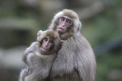 Sister and younger brother (Masashi Mochida) Tags: snow japan monkey sister brother nagano jigokudani