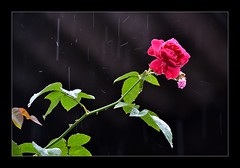 I stand tall in a drizzling day.... (Mahesh O M) Tags: flower green nature leaves rain rose leaf thorns drizzly drizzling d3100 maheshom