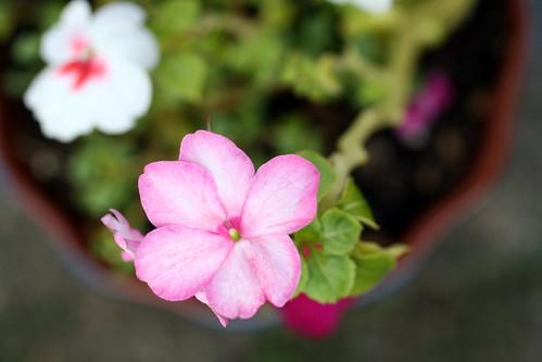 [222/365] Flower Pot by goaliej54