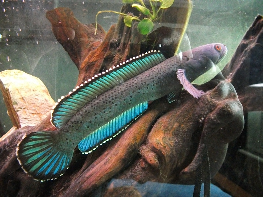 Very colorful freshwater aquarium fish - Wow Beautiful Yet Very Exotic Looking Channa Species Or As It S Commonly Known As The True Blue Moonbeam Galaxy Fish Wow