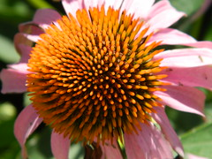 (Hauberk Photography) Tags: pink orange black flower up pointy close things